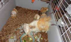 $10 each beautiful baby guinea pigs 2 left, 1 boy and 1 girl beautiful babies 3 and a half weeks old647 504 0603