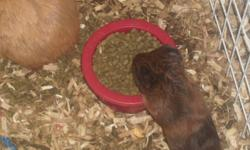 Our guinea pig had 3 babies a few weeks ago. We love them so much but it is hard to take care of them along with all the other animals. There are two gray ones and one brown. They are so cute I wish we could keep them. If you are interested, please call