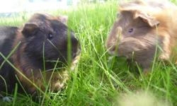 Hi, i am selling my guinea pigs, they are both male, and have to be sold together as they grew up together as brothers, the both have rosettes as shows in the picture the one thats black and almost orange is Hawk the other one the tan and almost prange