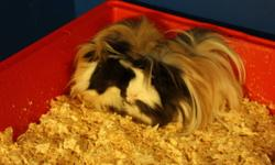 Hello,   I am offering two male guinea pigs, a cage, half a bag of shaveings and half a bag of food (and two water bottles).  Please contact me with any questions, wold love to find them a great home.