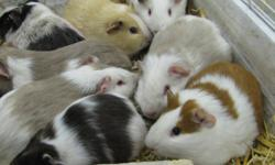 Hello,             We have 11 Guinea Pigs For Sale. We are asking for $5.00 Each           (Can be Sold individually as well.) They are very healthy and tame.                                                                 Thank You