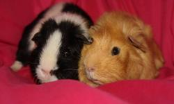 The Cavy Corner guinea pig rescue currently has guinea pigs up for adoption. Photos will be attached, and this is the link to our website. Please contact by email or telephone for further information.   http://www.wix.com/pets13/the-cavy-corner #!