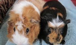 Free Guinea Pigs!! I have 2 female Guinea Pigs I need to find a home for ASAP. I just had a baby and I have no time to love and care for them as much as they need. I'm looking for a good home for them, someone to love, and care for them. The long hair one