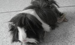 We have two boy guinea pigs that we would like to give to a good home. They are about 18 months old and very friendly. My daughter is not attending to them, so they need a new home.