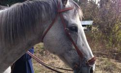 Nice Hackamore bridle w/ rains. Not used much. Like new condition. Fits my big 16.3 h Appendix/QH gelding. His head measures 50 inches and still can go 3 holes bigger and 1 hole smaller. Asking $45.00 Firm. Used chocolate breast collar. In good condition.