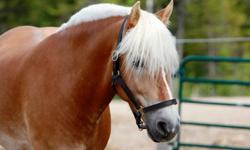 This wonderful boy is still avaliable. Monty is a registered Haflinger. 9 years old and 14.3 h. He was a driving horse first then was trained to saddle. used in a lesson program. He has had profesional dressage training , jumps and I recently took him to