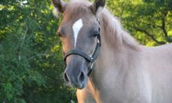 Cherokee Haflinger x Quarter Horse Filly PRICE REDUCED Cherokee (aka Cherri) is a stunning and athletic filly, coming into her 8th month. Well imprinted, very easy to work with, up to date with Shots/Worming/Farrier. She is a red dun with incredible zebra