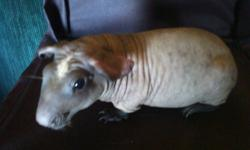 Definatley something different ......Beautiful Baldwins..... Truely hairless guinea pigs..not the counter-parts the skinny pig ...Baldwins have no fur/hair on them what so ever.. These are one of kind...We currenlty have 2 boars(males) avail..one looks