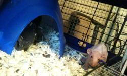 I have one female dumbo hairless pet rat for sale. She has no fur, no markings and red eyes. I named her Pinky(as her brother's name was Brain :-P ) She had a litter and I am wanting to keep two of her babies, but have no one to house her with to keep her