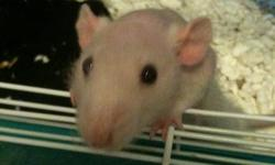 I have 2 male dumbo hairless rats for sale. My female rat just had a litter, so I need to make some room for the new lil guys, which is why I'm selling. The two are brothers, around 3-4 months old, and classed as hairless (although they do have a light