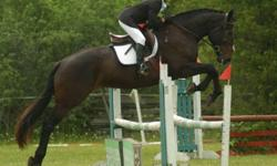 Serengeti (?Indy?) is a lovely 16.3hh 6 yr old Oldenburg cross mare that is a packer extraordinaire! QUIET, EASY ride, just lopes along to the fences in a steady rhythm, no quickness, very cute jump, ideal for an ammy or nervous/novice rider looking for a