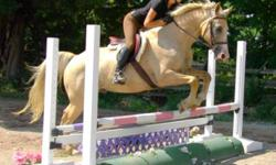 MUST SELL by October 31st - price cut in half from 10k to 5k for a quick sale, will consider all offers before the end of this month! STUNNING Palomino Hanoverian cross 8 yr old 16hh gelding with big blaze and stockings. Nothing wrong with him - sound, no