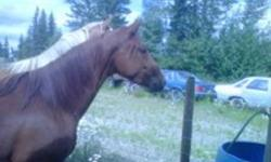Half Quarter Horse  Half Fox Trot Mare, Sorrel, Very pretty. 4 years old. Father is quarter horse, ( Dee Cas and Smoking Rocket ) and mother is a Fox Trotter.  Broke to ride but is still learning. Friendly, easy to catch.  Good with other animals,