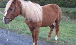 $700  Halflinger X QH 6 yrs old  mare very cute, big boned  13.1 hands was told that she was harness and saddle brok , have not tried her in harness but have been on her back a couple of times with no problems