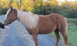 $800 OBO Halflinger X QH 6 yrs old  mare stunning to look at, she is a little dirty in the pics 13.1 hands