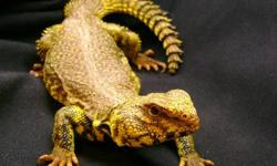 HAMILTON REPTILE SALE ---------------------------------------- Baby redfoot tortoises $399.99----special $349.99 Baby hogg island boa?s --$249.99---special 199.99 Blood python---------------$199.99---speCial $149.99 Salmon boa