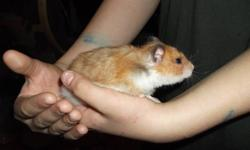 HAMSTER available to good home female 1-1/2 years old, great pet, calm, doesn't bite, well behaved   $10.00 for hamster & cage