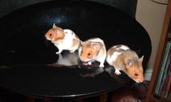 I have three male hamsters up for adoption!!!! Well handled and great for children's first pet. They are all brothers and are two and half months old. These are my first litter of hamsters. Do not come with cages. I am expecting more baby hamsters in 2