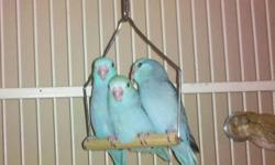 "PLEASE READ THE AD BEFORE REPLY.SOME PEOPLE MISTAKEN FOR SOME BIGGER BIRDS .  THANKS THESE PARROTLET WILL ONLY GROWN TO  ABOUT 5"" LONG. THESE ARE NOT A BIG BIRD. NOT ALL COLOR ARE 100$. PLEASE READ THE PRICE BELOW. HANDFED GREEN PARROTLET MALE AND FEMALE."