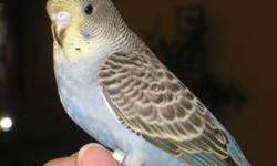 **UPDATE** These two babies are starting to talk, laugh and cough. We have two cobalt, yellow faced budgies for sale.  They hatched August 2011.  Please see our website at www.ftlob.webs.com for more information.   Each baby comes with a box to take