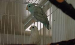 Hi I am  offering the following:   Hand fed Opaline Lovebird; Two olive green colour left.  Weaned and ready to go.  $100.00   I am also cutting back on my breeding stock.  Selling Breeding pair of Opaline.   Pair # 1; About 6 Still gives me 2-3 Clutches