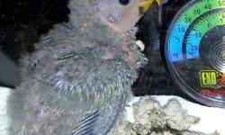 I have 4 baby lovebirds, 2 emerald and 2 cobalt, available. They are about 4-5 weeks old should be ready to go within 2 weeks (December 12th). I am hand feeding them and they are really starting to develop unique personalities. They make great little pets