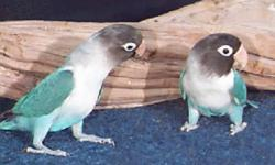 I have few hand raised fully weaned very friendly love bird babies. Perfect health and nice smooth feathers. Asking $80 firm for each. The black masks for $100 for each. Could be the best new year gift for your love ones. Won't last long, hurry up and get