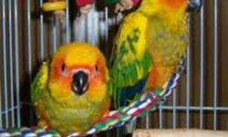Hand raised fully weaned super friendly Sun Conure Babies are up for sale. They are super cute birds. Will change their colors after few months. I gotta couple of unweaned too, for those who wanna hand feed. Asking $500 firm for each. Plz call at