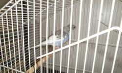I HAVE 7 BABY BUDGIES BLUE AND WHITE, YELLOW AND LIGHT GREEN, WHITE PLZ E-MAIL ME ASKING $20