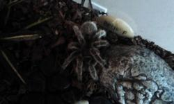 Hello I have a tarantula for sale that is very friendly. Comes with his tank and everything needed. Is eating crickets, and loves to just chill around with you. I am asking 60$ for everything