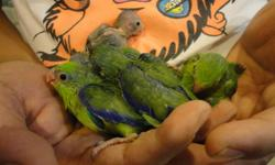 PLEASE READ CAREFULLY. DIFFERENT COLOR . DIFFERENT PRICE. ( NO EMAIL PLEASE ) HANDFED GREEN PARROTLET BABIES FOR SALE. I HAVE 1 FEMALE. 100$ EACH. PRICE IS FIRM. BANDEDJ, PHOTO # 1 HANDFED BLUE PARROTLET BABIES FOR SALE. I HAVE 2 MALES . 120$ EACH. PRICE