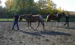 Learn to be safe, effective, and confident with horses. If you love horses and are curious about them, nervous around them, or you or your children are contemplating horse ownership; I, along with our well mannered horses, can get you off to a good