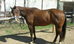 Registered as Jacks Sailing Back, this15.2 hands high horse goes back to 2-Eyed Jack, Toad's 4 Grand and Tippiolla.  He has been used as a lesson horse for a number of years for riders of all ages and levels. This gelding is a smooth ride, collects, side