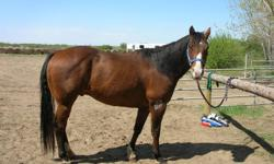 Registered as Jacks Sailing Back, this15.2 hands high horse goes back to 2-Eyed Jack, Toad's 4 Grand and Tippiolla.  He was used as a lesson horse for a number of years for riders of all ages and levels. This gelding is a smooth ride, collects, side