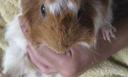 Cumber is a 2 year old guinea pig, born Nov. 7th, 2009. He is red & white, 3/4 peruvian and 1/4 abyssian. He is hand tamed - still skittish when trying to pick him up (like most guinea pigs) but is fine and relaxed once in your arms. He loves free roam
