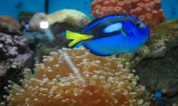 This lovely Blue Tang has, unfortunately, outgrown my small saltwater reef tank and needs a larger home.