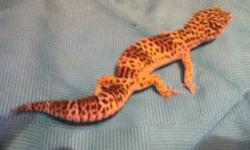 I have a very healthy leopard gecko, about 6 years old. Not sure of the gender but he or she is a little shy to handle, however I have never had an issue with them being aggressive. They will come with a full tank of accessories including a red and white