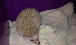 Looking for a good home for a male hedgehog.. He is just over a year old Color: brown/ tan Comes with; Cage House and smaller shelter Running wheel Running ball Food and dishes Asking $130 for everything This ad was posted with the Kijiji Classifieds app.