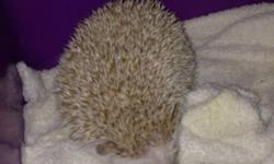 I am looking for a good home for a young male hedgehog. He is brown/ tan in color. Comes with; Cage and bedding House and smaller shelter Running wheel Running ball Food and water dishes +water bottle I'm asking 130 for everything! This ad was posted with