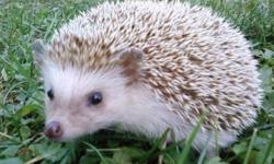 Hi, I have a one year old hedgehog that I just don't have the time to take care of properly and would like him to go to a home that can take care of him the way he should be. He comes with cage with everything in it, as well as a full bag of hedgehog