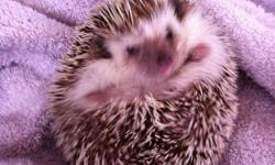 I need to sell my hedgehog fast as i am approaching an out of country vacation. She comes with everything you need, including her cage (which itself is worth $150), wheel, dishes, toy, den, food, and treats. She's perfect if you're looking for a new pet