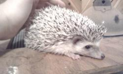 HEllo I have some hedgehogs for sale. I have two females, and 1 male available. They are a breeding trio. They come with 3 cages (as the male can't be left in with them once they deliver). The first picture is our friendliest girl. She is very pretty and