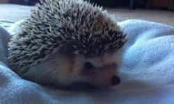 I have two hedgehogs in need of a good home. They are 2 years old and have everything. Two cages, fleece, wheels, food/water dishes, food, shavings, shelters, heat lamps, thermometers and a carrying cage. I love them but I just don't have the time for