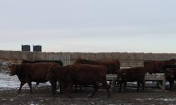 we have 5 blks and 13 reds bred cows all purebreds no papers,due mar 1st/12,all young cows,also coming 2 year old red bull ..will be ready for sale jan1/12 ...1650.00 obo..must see