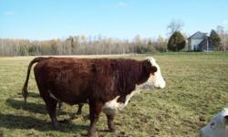 Registered Horned Hereford Bull for sale $2000.00, only 3 years old, come from M C Quantock Livestock Corp, I have had him since he was 17 months old, bred my cows 2 years, knows what he is out their for, calves weighted from 78 lbs to 84 lbs at birth,