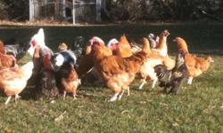 Variety of Heritage Breed Chickens for sale including Buff Orpintons,Americanas,Dark Bramhas, Standard Cochins, Brown Betty laying hens - hens and roosters $7 each in total approx 50 birds must take at least 20 All birds hatched May 2011