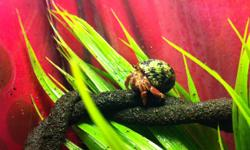 "I am looking to give my 3 hermit crabs (Cheese, Max and Rainbow) to a good home.   They come with: Exo-Terra Glass Terrarium (18""x18""x18"") Hood Canopy and Light Substrate Heaters (Stuck to bottom to keep habitat warm) Food, Dishes, Decor, Substrate,"