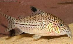 """Moving back Home need to get rid of fish. Hifin Spotted Pleco Size: ~2.5"""" Julii Cory Size: ~1.5"""""""