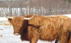 Two Highland cows for sale, one registered (pic 1), one not (pic 3); ages 11 and 9, respectively; along with two of this spring's calves (6 mos old).  Both cows will calve in the spring, sired by registered Highland bull (pic 2), both very gentle