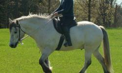 Huckleberry is a 6yr old 14.2h cream dun gelding.  Very friendly. Going very well under saddle w/t/c and free schooling.  Great trail horse. Trained using Parelli Natural Horsemanship. Sound. No vices.